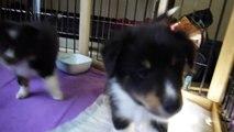 シェルティーの東京ブリーダーの子犬販売はPADOG関東