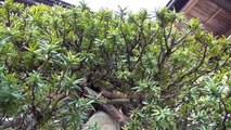 "Japan Trip 2015 Tokyo Bonsai Taxus cuspidata(Ichii) in Japanese garden of ""Showa Memorial Park"""