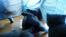 Our 5 British Shorthair kittens playing...