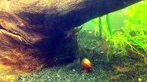 Tiger Shrimp; Red Cherry Shrimp & Red Crystal Shrimp VS Spiruline