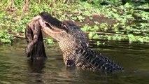 Science Today: American Alligators | California Academy of Sciences