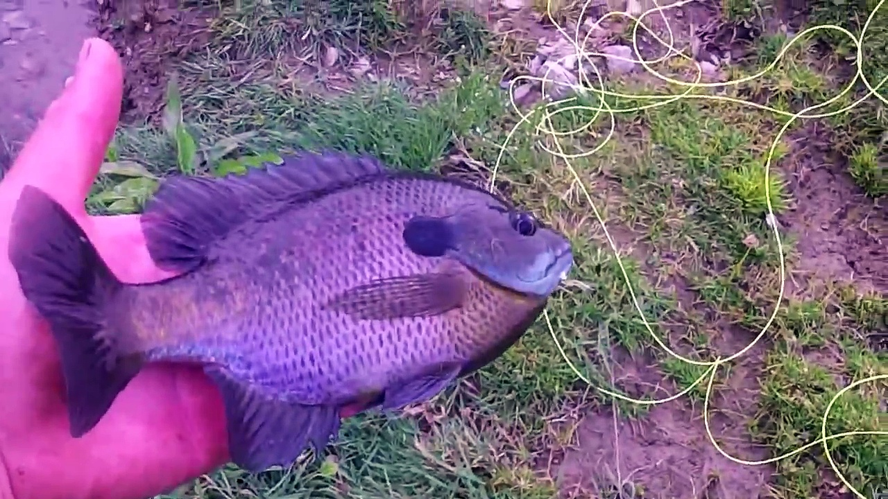Fly Fishing For Bass And Bluegill