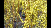 Growing Forsythia  Shrubs  for use  as a Hedge   Bucks County Grower