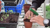 Allotment Diary EP13 - Transplanting Tomatoes & Sowing Runner Beans