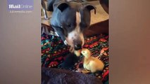 Heatwarming moment pitbull takes on role of mum to pair of ducklings