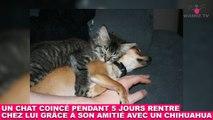 Un chat coincé pendant 5 jours rentre chez lui grâce à son amitié avec un chihuahua ! Tout de suite dans la Minute Chat #202