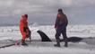 Ils sauvent des baleines prises au piège dans la glace en Russie