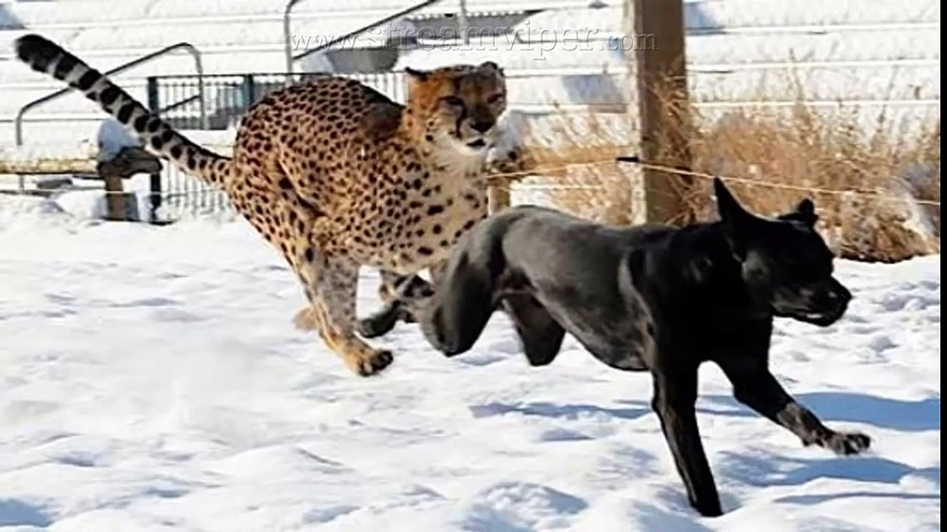 Pet Dogs vs Leopard   Sudden Death As 3 Pet Dogs Attack Wild Leopard - (CCTV Footage)