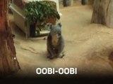 Attention les yeux : koala trop mignon !