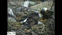 Un aigle dépose un chat dans son nid pour ses bébés