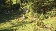 Chasse du lièvre en montagne avec des Ariégeois
