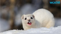 Large Hadron Collider Taken Out By Hungry Weasel