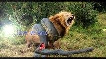 Biggest Anaconda Snake Attacks Man ➤ Giant Anaconda attacks Human Real ➤ Animal Attacks
