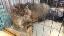 De magnifiques félins au salon du chat