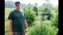 M Hirst on White Pine Tree Growth