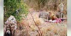 TOP Animals Attack Videos LOL #17   Lion Vs Hyena, Cheetah Vs Hyena, Leopard vs Hyena