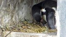Naissances des jeunes manchots de Humboldt au Parc Zoologique de Paris