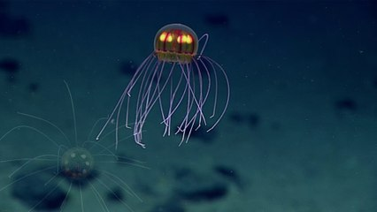 NOAA Captures Incredible Sparkling Jellyfish Footage 12,140 down!