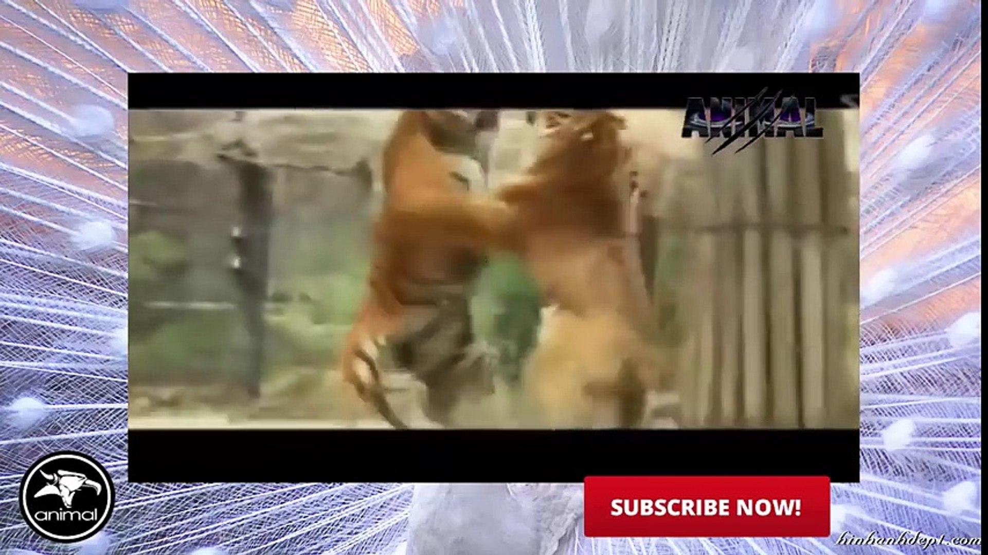 Tiger Attack Animal Planet   Tiger Attack on Animals   Tiger Attack Documentary 2016