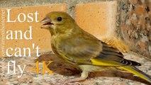 Baby bird is lost and can't fly 2 | Pássaro bébé está perdido e não sabe voar 2 | 4k UHD 2160p