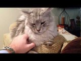Tail Talk: Learn the Body Language of Maine Coon Cats