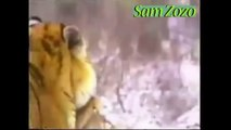 Wild animals hunting dog. Pit bull vs tiger. Leopard attack guard dog. Mountain lion vs dog.