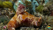Muck Diving in Lembeh Strait Episode 26