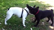 Cute French Bulldog Puppy Fight. (20 month old vs 14 month old)