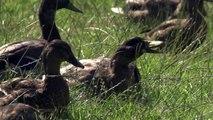 Mallard ducks at the British Wildlife Centre