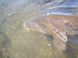 80cmの鯉が釣れるまで頑張るシリーズ ①    Keep trying to catch 80cm carp、 Episode 1