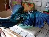 mon perroquet ararauna prend son bain dans la cuisine
