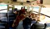 Des girafes s'introduisent dans un bus pour voler de la nourriture
