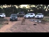 Tourists Provoke Lions With Remote Control Car
