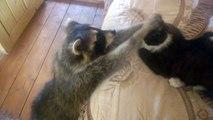 Ce raton laveur a une drôle de manière de faire copain copain avec le chat