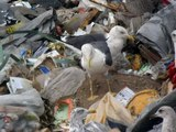 12.9.12 Goéland brun bleu 29 (Larus fuscus, Lesser Black-backed Gull)