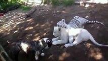 Real fight - Lion vs Pitbull Most amazing wild animal attacks - Giant anaconda attack