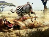 Brutal Lions!! Lion vs Zebra Wild Animal Fight!! Incredible Zebra!!