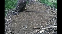 Decorah Eaglets-D13 Has Skirmish With Mom 6-15-12 (7:47pm)