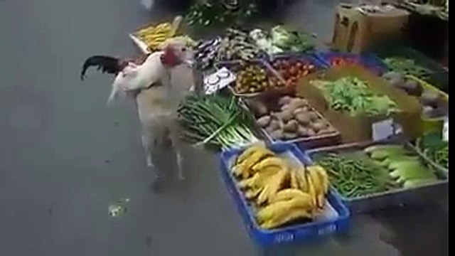 Two Cocks on Dog Must watach