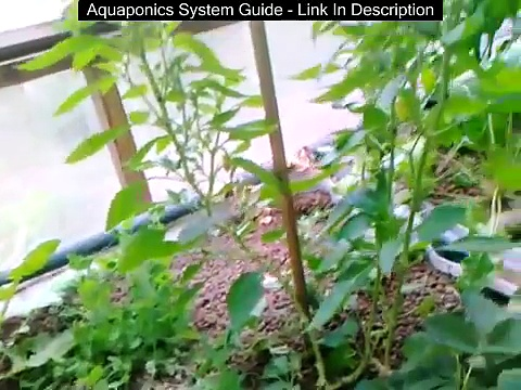 Aquaponics & passive solar greenhouse – end of summer – how it works & why an aquaponic setup can