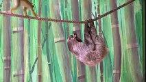 Un singe ose piquer le repas d'un paresseux, suspendu à une corde