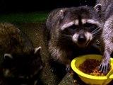 Raccoons being raccoons, Part 2
