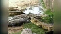Hombre fue devorado por feroces cocodrilos