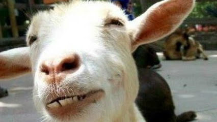 Funny Goats – A Funny Goat Videos Compilation — NEW HD