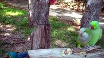 Un couple de perroquet se fait une déclaration d'amour!