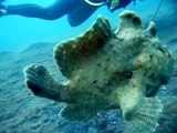 poisson grenouille ??? (frogfish)