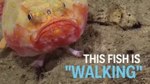 Scientists captured a video of a deep-sea fish with 'feet.'