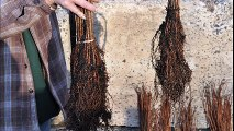Need a Fast Growing Seedling    Try Dawn Redwoods