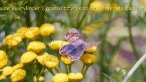 Bruine Vuurvlinder Lycaena tityrus op 27 juli 2014 op de Achterste Esch in Mantinge