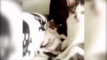Un chaton copie sa maman au moment de la toilette